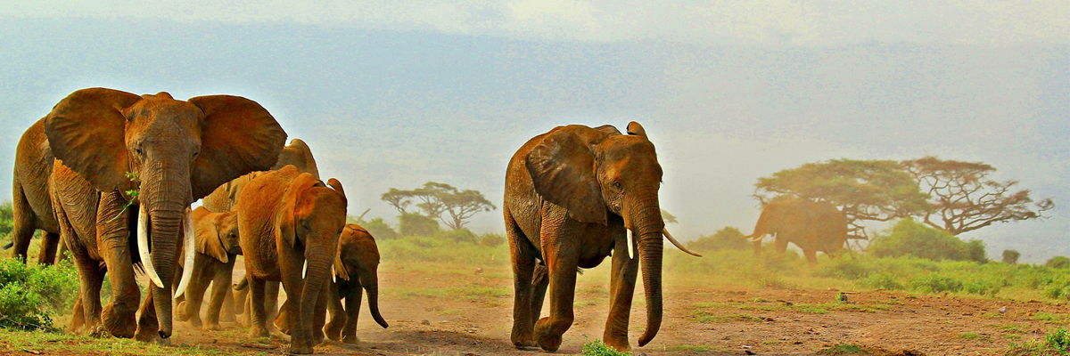 Tanzania Safaris Elephants walking